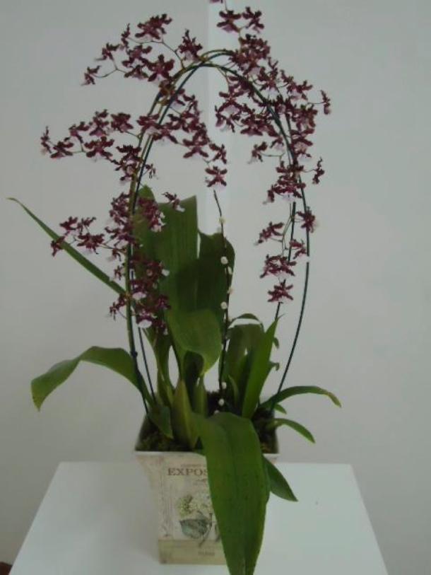 orquídeas lotus