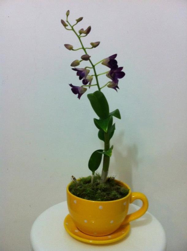 orquideas lotus